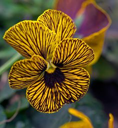 Yellow Striped Pansy