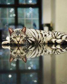 cat reflection - gorgeous !