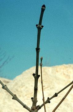 Magas kőrisfa (Fraxinus excelsior, Oleaceae) (nagyobb, fekete rügyekkel) és virágos kőrisfa (F. ornus, Oleaceae) (kisebb, világosszürke rügyekkel) rügyes hajtása (Seregélyes Tibor felvétele)
