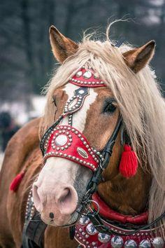 Horse Horse, Draft Horses, Horse Head, Pretty Horses, Beautiful Horses, Fortune Favours, Appaloosa, Alpacas, Gentle Giant
