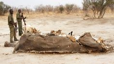 Poachers poison 91 elephants for tusks.. a tragedy.
