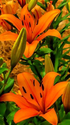 So to avoid being offensive with Tiger Lily's costume I thought we might be able to incorporate the Tiger Lily flower into it some how? Like dress her in this color or something. Orange Flowers, My Flower, Beautiful Flowers, Lilies Flowers, Bunch Of Flowers, Beautiful Gorgeous, Asiatic Lilies, Stargazer Lilies, Orange Art