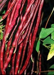 80 days. Fantastic deep red 18-inch pods are  delicious, full of nutrition, and even keep most their color when sauteed! Long vines produce all summer and do well under many conditions. Unique Chinese ethnic variety that produces fairly early. Small red seeds  All the seeds are non-hybrid, non-G...