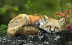 Fox and owl cuddle
