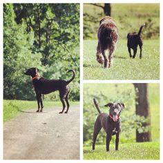 Leyna's farm adventures! #evasplaypupspa #dogdaysofsummer #dogsofinstagram #labsofinstagram #endlessmountains #mountpleasant