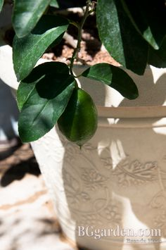 Lime Shrub I've been enjoying on my Ohio front porch for 3 years!  #gardenchat