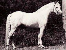 Connemara Pony Stallion Abbeyleix Finbar Sire of my own Glenormiston Flora! Connemara Pony, All About Horses, Thoroughbred, Blue Moon, Dressage, Ponies, Ranch, Miniature Horses, Sport