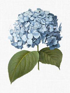 Blue Flower Clipart 'Big Leaf Hydrangea' Image by AntiqueStock