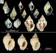 Family Muricidae Subfamily Rapaninae 1. Agnewia tritoniformis 2. Lepsiella reticulata 3. Lepsiella vinosa 4. Morula marginalba 5. Morula nodulifera 6. Thais ambustulatus 7. Dicathais orbita