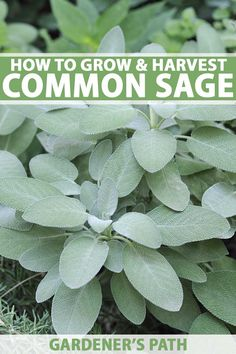 Grow Common Sage, a Mediterranean Culinary Staple Do you like the flavor of sage in recipes like meat rubs and stuffing? Are you tired of paying high prices for fresh and dried sage that often lacks flavor? It's time you started your own supply. Learn how Growing Herbs In Pots, Growing Vegetables, How To Grow Herbs, Permaculture, Sage Plant, Sage Herb, How To Dry Sage, Organic Horticulture, Herb Garden Design
