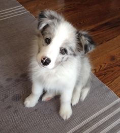 11 week old blue merle border collie