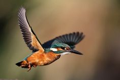Kingfisher in flight Photo by Adam Fichna — National Geographic Your Shot