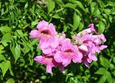 Podranea ricasoliana Common names: Pink Trumpet Vine, Port St. John's Creeper, Queen of Sheba Origin: Native to South Africa Where it will grow: Hardy to 10 degrees Fahrenheit (USDA zone 7; find your zone) Water requirement: Low to moderate Light requirement: Full sun Mature size: 20 feet tall and wide Seasonal interest: Large pink flowers in spring and fall When to plant: Fall or spring