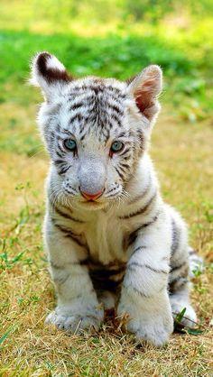 Baby white tiger!!!