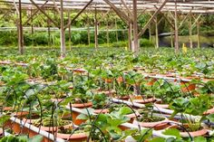 strawberries in a greenhouse