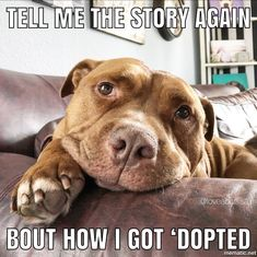 This special pitbull puppy will make you happy. Dogs are incredible companions. Funny Animal Memes, Dog Memes, Cute Funny Animals, Cute Baby Animals, Funny Dogs, Animals And Pets, Funny Memes, Cute Puppies, Dogs And Puppies