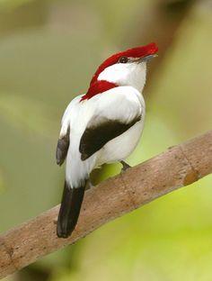Photo Araripe Manakin (Antilophia bokermanni) by Alberto Campos   Wiki Aves - The Encyclopedia of Brazilian Birds