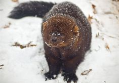 Fisher Resurgence: Once extinct in Pennsylvania forests, a big active predator is on the rebound