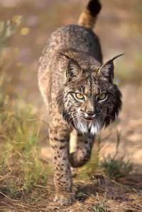 Iberian lynx--one of the most endangered cat species in the world. One threat to its population is hybridization with domestic cats.