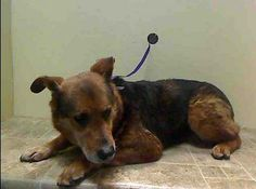 SUPER URGENT 01/23/14 Brooklyn Center  VERMONT - A0990130  I am a neutered male, brown and black German Shepherd Dog mix.  The shelter staff think I am about 8 years old.  I weigh 65 pounds.  I was found in NY 11208. I have been at the shelter since Jan 22, 2014. https://www.facebook.com/photo.php?fbid=745793698766845&set=a.617942388218644.1073741870.152876678058553&type=3&theater
