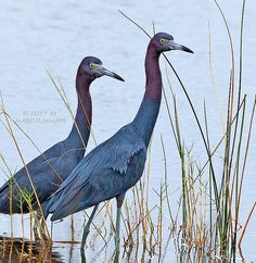 Little Blue Herons   , Florida