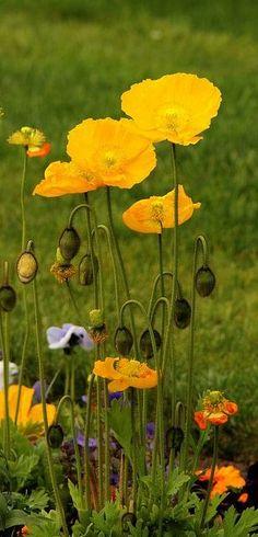 yellow poppies                                                                                                                                                                                 Mais