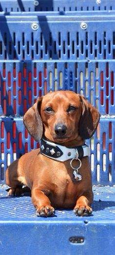 """I rule!"" #dogs #pets #Dachshunds Facebook.com/sodoggonefunny"