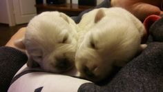 #puppies #westies #sleepy