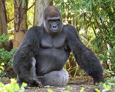Gorilla trekking info