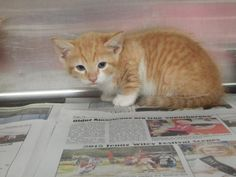 Tom - URGENT - PIKE COUNTY ANIMAL SHELTER in Pikeville, Kentucky - ADOPT OR FOSTER - Male KITTEN Domestic SH Mix