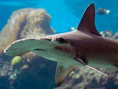 Throwing a Lifeline for 11 Shark and Ray Species #sharks #CITES