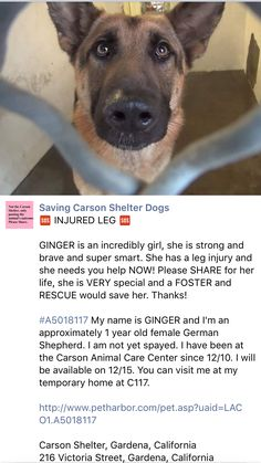 12/21/16 GINGER NEEDS OUT NOW - INJURED LEG !! /ij https://m.facebook.com/savingcarsonshelterdogs/photos/pb.171850219654287.-2207520000.1481826486./698930536946250/?type=3