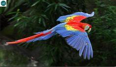 Vẹt Macaw đỏ Nam Mỹ - Scarlet macaw (Ara macao)(Psittacidae) IUCN Red List of Threatened Species 3.1 : Least Concern (LC)(Loài ít quan tâm)
