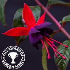 Hardy Fuchsias K to Z | Able To Survive Most Winters, A Great ...