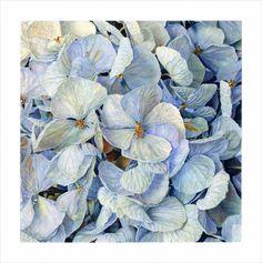 flower Hydrangea botanical
