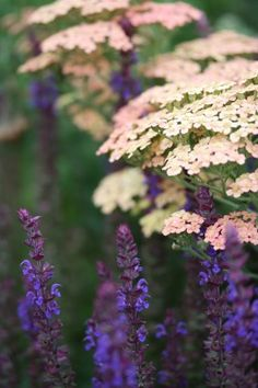 Mein Garten explodiert Achillea 'Salmon Beauty' et Salvia nemorosa 'Ostftriesland' Buying Wholesale Back Gardens, Outdoor Gardens, Herbaceous Border, Cottage Garden Design, Colorful Garden, Plantation, Gras, Plant Design, Dream Garden
