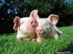 Photographie d'adorables cochons allongés sur une pelouse