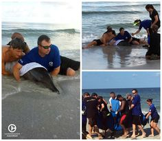 Clearwater Marine Aquarium responded to a live stranded dolphin yesterday on Sand Key Beach, Florida. The animal has been identified as a rough-toothed dolphin estimated as a sub-adult. The cause of stranding is unknown at this time and the animal is currently undergoing treatment. Thank you to everyone involved. We are hopeful for a future release back into the wild. #CMAlife