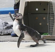 I'm home!!  (The penguin which escaped from an aquarium)