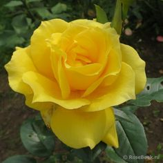 Best Totally Free Hybrid Tea Roses yellow Tips Hybrid tea will be the older selection of carnations considered contemporary yard roses. They were made throu