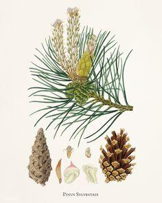 Public Domain | Scots pine (Pinus sylvestris) illustration from Medical Botany (1836) by John Stephenson and James Morss Churchill.