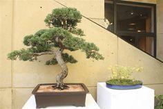 IU Art Museum presented a bonsai tree demonstration