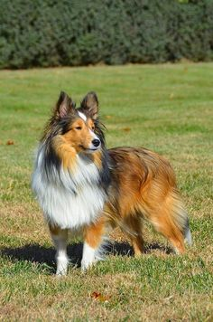 Shetland Sheepdog This is one of my favorite breeds. They are NOT mini collies. They only favor the collie. They are so loyal and make awesome pets! I don't know what I will do when my Obi passes :( Pets, Pet Dogs, Dogs And Puppies, Dog Cat, Doggies, Cute Cats And Dogs, I Love Dogs, Smartest Dog Breeds, Sheep Dog Puppy