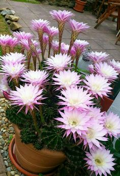 Prickly ,,, but nice💖 – Cactus Exotic Flowers, Amazing Flowers, Purple Flowers, Cacti And Succulents, Planting Succulents, Potted Plants, Cactus House Plants, Cactus Cactus, Indoor Cactus