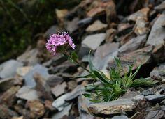 Organic Gardening Supplies Needed For Newbies Alpine-Catchfly Buy Flowers Online, Buy Plants Online, Alpine Garden, Alpine Plants, Perennial Grasses, Rock Garden Plants, Online Flower Delivery, Landscaping Plants, Landscaping Ideas