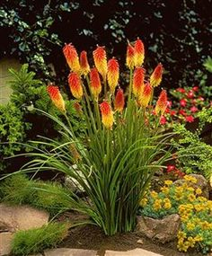 In with Alium - Kniphofia uvaria also called red-hot pokers or torch lilly is a perennial, and winter hardy to zones 5-10 and will grow 2-5' tall. They come in several varieties ranging from red-orange-yellow which bloom ranging from May-October. Must be planted in full sun. It attracts humming birds & butterflies.