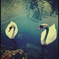 The sweet white swans that float by on Lady Bird Lake in Austin...similar to the swans at Iowa State University's Lake Laverne.  Pretty!