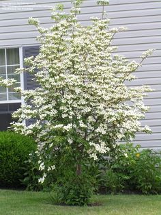 gallon pot) KOUSA DOGWOOD TREE -Grand Small Dogwood,star-like white blooms,Kousa bloom a month after flowering dogwoods Flowering Shrubs, Trees And Shrubs, Trees To Plant, Garden Trees, Garden Plants, Kousa Dogwood Tree, Tree Seedlings, Baumgarten, White Gardens