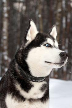 Dog breed siberian husky porrait in winter forest Alaskan Husky, Siberian Husky Dog, Alaskan Malamute, Beautiful Wolves, Beautiful Dogs, Dog Jokes, Cute Husky, Marvel, Yorkshire Terrier