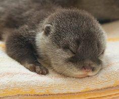 sweet baby otter sleeping